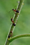 Ants communicate using   its antennae. Stock Photography