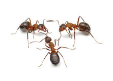 Ants connecting with antennas to create network Royalty Free Stock Photography