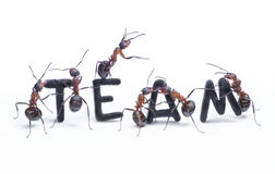 Ants constructing word team with letters, teamwork. Ants constructing word team with letters managing by chief, teamwork concept Stock Photo
