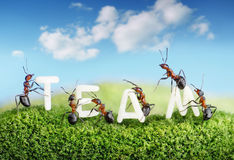 Ants constructing word team with letters, teamwork. Concept royalty free stock photography
