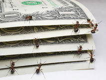 Ants counting dollars Stock Photography