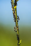 Ants crawling up the green stem of a plant Stock Image