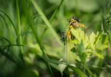 Ants on dandelion flower. Royalty Free Stock Images