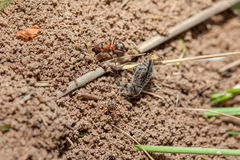 Ants and deat insect Royalty Free Stock Photo