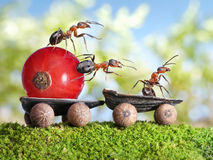 Ants deliver red currant with trailer, teamwork Royalty Free Stock Image