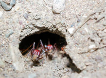 Ants digging their nest Royalty Free Stock Photography