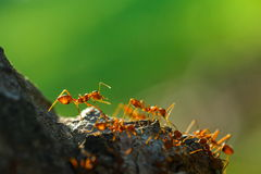 Ants,Diligent ants find food protection,Enemies,transport, enemies Royalty Free Stock Photo