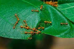 Ants,Diligent ants find food protection,Enemies,transport, enemies Royalty Free Stock Photography