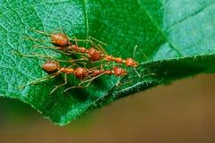 Ants,Diligent ants find food protection,Enemies,transport, enemies Stock Photo