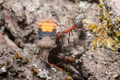 Ants drags a large beetle Royalty Free Stock Images
