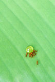 Ants drinking syrup Royalty Free Stock Photos
