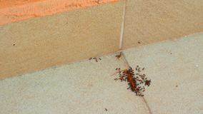Ants eat a centipede stock video footage