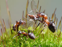 Ants eat fly Stock Photo