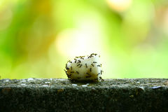 Ants eat food on wall. Ants eat food on wall Stock Image
