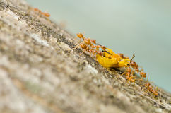 Ants eat orange beetle in green nature Stock Photo