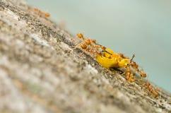 Ants eat orange beetle in green nature Stock Photo