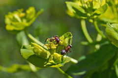 Ants eat the sweet pollen of   plants. Stock Image
