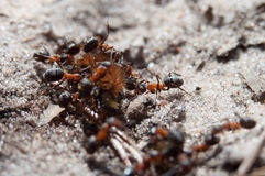 Ants eating big hair caterpilar Royalty Free Stock Photography