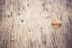 Ants are eating died ant on wood floor background Stock Images