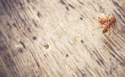 Ants are eating died ant on wood floor background Royalty Free Stock Photo