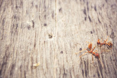 Ants are eating died ant on wood floor background Stock Image