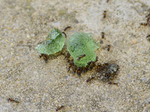 Ants eating fruit gums. Also ants do like fruit gums and cut it into transportable pieces Royalty Free Stock Photos