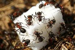 Ants eating sugar stock image