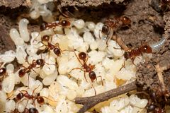 Ants with eggs Royalty Free Stock Photography