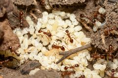 Ants with eggs Royalty Free Stock Photos