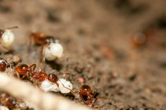 Ants with eggs Stock Photo