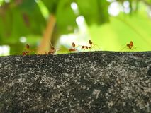 Ants parade in the morning. This procession is on the top of bricks wall. royalty free stock image