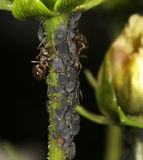 Ants farming Aphids on Cosmos flower stem. Royalty Free Stock Photos