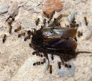 Ants feed on the beetle Royalty Free Stock Images
