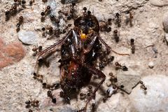 Ants feed on the beetle Royalty Free Stock Photo