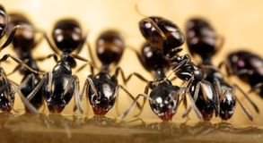 Ants feeding. A close up of ants feeding on sugar syrup Stock Photo