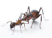 Ants feeding, formica rufa on chid care Royalty Free Stock Image