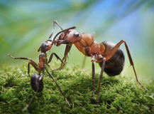 Ants feeding, formica rufa on chid care. Ans feeding, formica rufa look after posterity Stock Photos