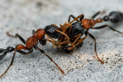 Ants feeding on Nectar royalty free stock image