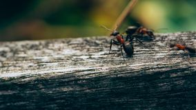 Ants on a fence, Macro photo, Ameland wadden island Holland the Netherlands royalty free stock photo