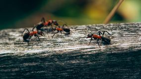 Ants on a fence, Macro photo, Ameland wadden island Holland the Netherlands royalty free stock image