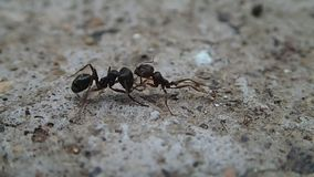 Ants fighting on cement Royalty Free Stock Photo