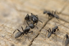 Ants fighting Royalty Free Stock Image