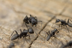Ants fighting. Pic of a  Ants on a wood Royalty Free Stock Image