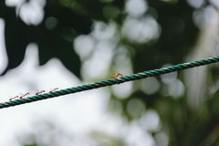 Ants are fighting on the ropes Stock Images