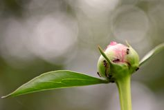 Ants finding food on a peony bud. Several ants are looking for something to eat on a fresh peony bud stock photography