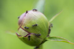 Ants on a flower bud Royalty Free Stock Photography