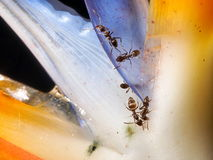 Ants on flower Royalty Free Stock Photo