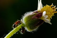 Ants and flowers Royalty Free Stock Images