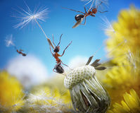 Ants flying with crafty umbrellas, ant tales. Ants flying away with crafty umbrellas - seeds of dandelion, ant tales Royalty Free Stock Photo