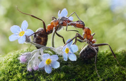 Ants kissing in flowers (actually feeding). Ants formica rufa kissing in flowers, actually feeding Royalty Free Stock Images